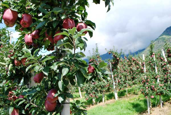 Подвиды яблони «Делишес Ред» могут культивироваться практически в любых климатических условиях
